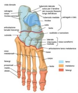 vista dorsale del piede